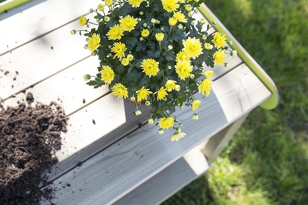 planting table Ilex